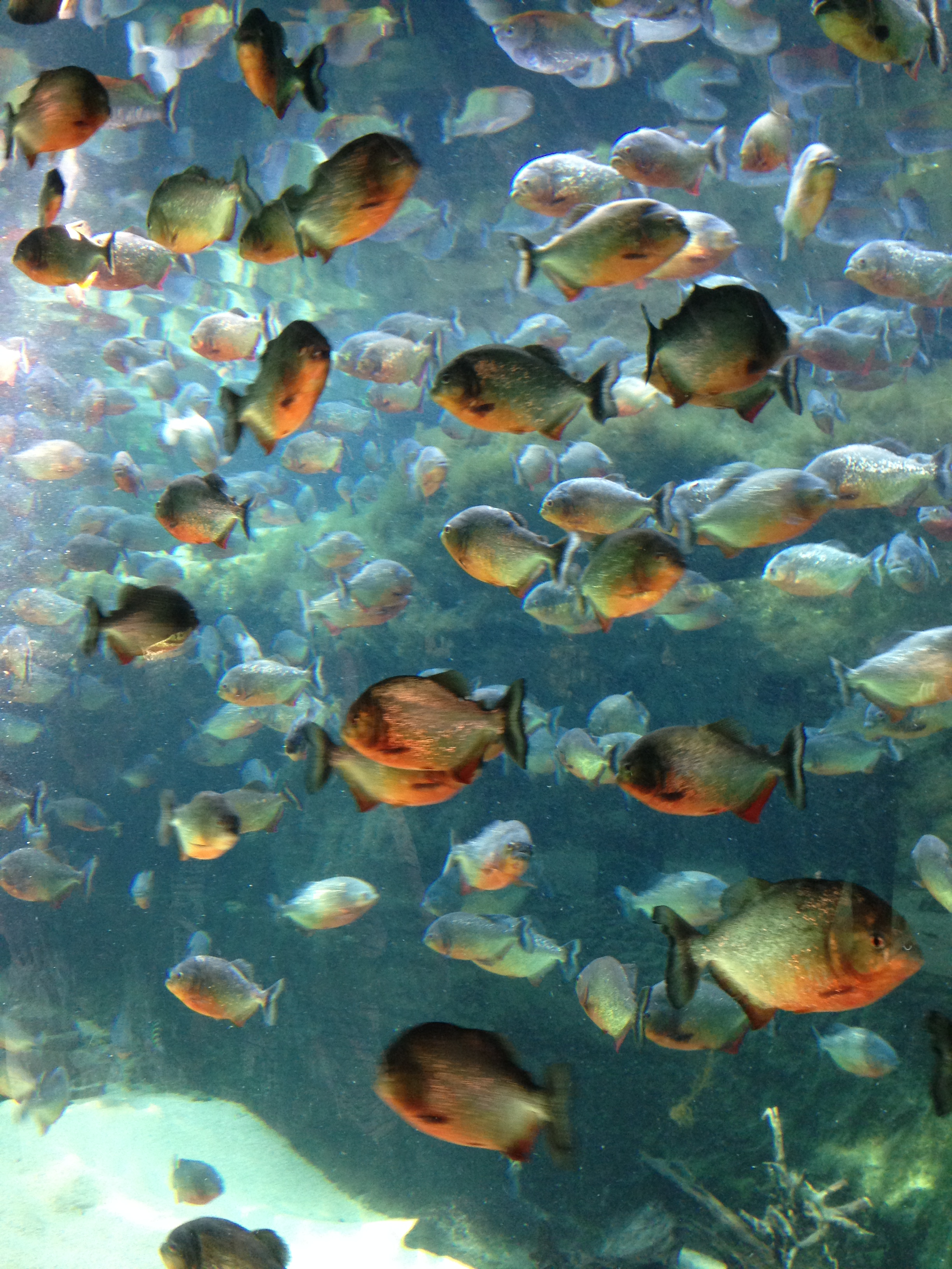Aquarium_Piranhabecken